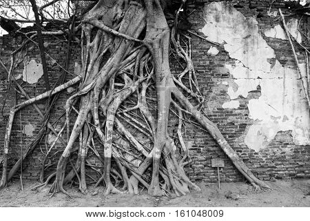 The tree roots climbing on the old temple wall, Thailand