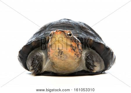Turtle portrait in gray background - shot