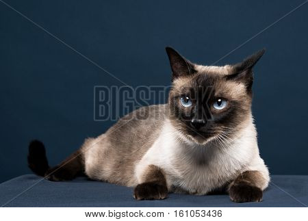 siamese cat portrait in dark blue background
