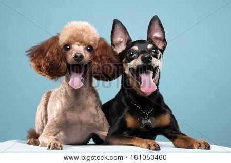 Miniature Pinscher, Poodle portrait in blue background - shot