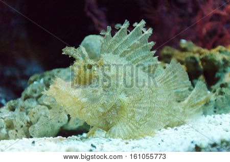 a close up scorpion fish under a water