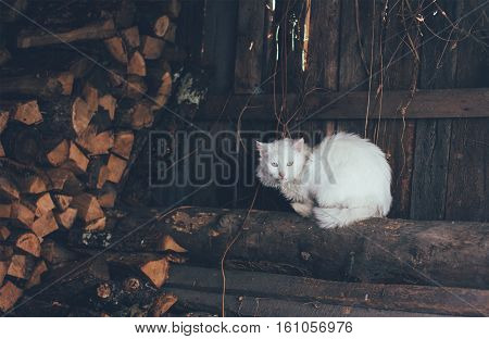 old white cat sitting on logs in the woodshed tinted photo