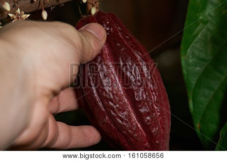 harvest of cocoa red fruit on tree. Cacao farm harvest. Hold cocoa pod