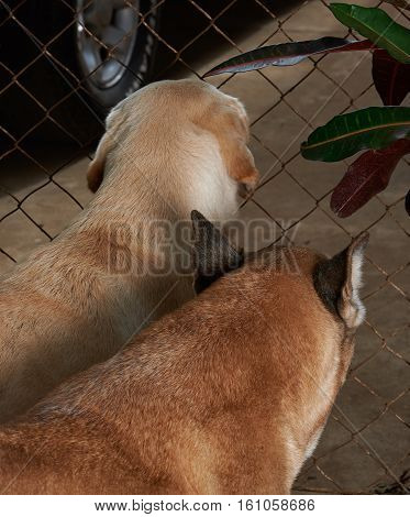 two dogs guarding house next to metal mesh net view from back