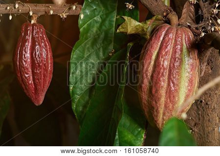 cocoa red pods on cacao tree close up with leaf and flowers. Cacao farm
