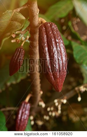 long young red cocoa pods cacao farm tree close up. Ready for harvest cocoa pod