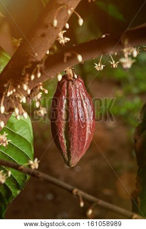 One red cacao pod hanging on cocoa tree with white bloon flowers in sun light