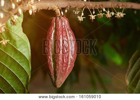one red cacao pod hang on branch close up with flowers