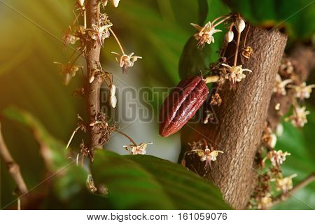 Close up of cacao blooming tree with flowers and small fruit