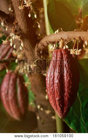 Cacao pods on tree branch hanging and ready for harvest