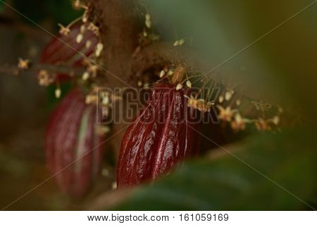 Cacao pods growing on cocoa tree farm close up