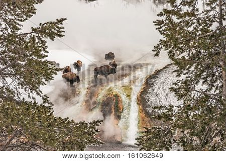 American Bison (Bison bison) often referred to as buffalo above the Firehole River at Midway Geyser Basin in Yellowstone National Park