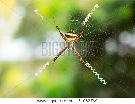 Spider Cross spider hanging on web in natural