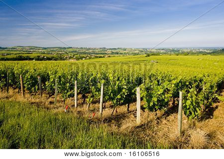 vineyards of Cote Maconnais region near Fuisse, Burgundy, France