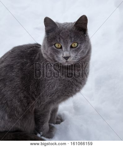 British cat in the snow in the winter