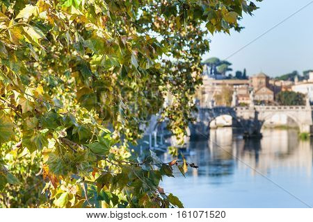 Branch Of Sycamore Tree And Tiber River In Rome