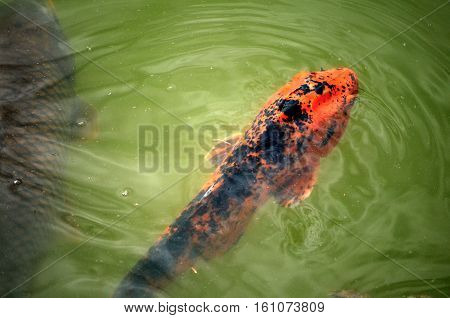 A black-spotted orange koi fish comes up for air in the pond.