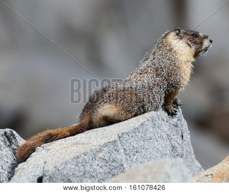 Yellow-bellied Marmot - Marmota flaviventris, perched on a rock. Desolation Wilderness, El Dorado County, California, USA
