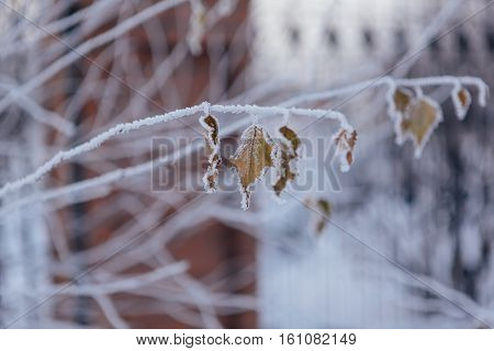 Frozen leaves covered with frost on the tree.