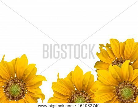 agriculture, background, beautiful, beauty, blooming, blossom, botanical, botany, bright, closeup, color, colorful, crop, cultivated, daisy, environment, field, flora, floral, flower, fresh, freshness, garden, golden, green, growth, head, landscape, leaf, poster