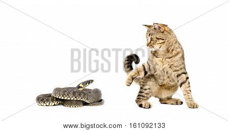 Playful cat Scottish Straight and snake together isolated on white background