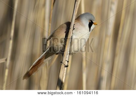 Male of Bearded parrotbill songbird Panurus biarmicus