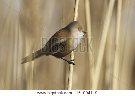 Female of Bearded parrotbill songbird Panurus biarmicus