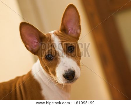 Indoor portrait of Basenji puppy (3.5 month old).