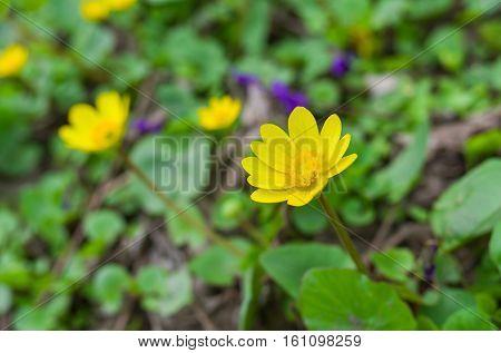 Lesser celandine flower in early spring garden.