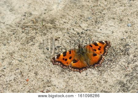 Visual color mimicry - Small Tortoiseshell butterfly is trying to conceal itself sitting on the ground.