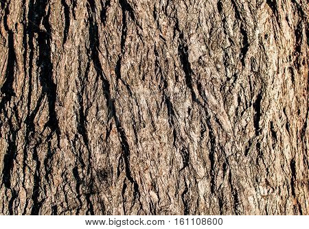 Detailed texture of lit poplar bark. Image of the old large poplar trunk close up.