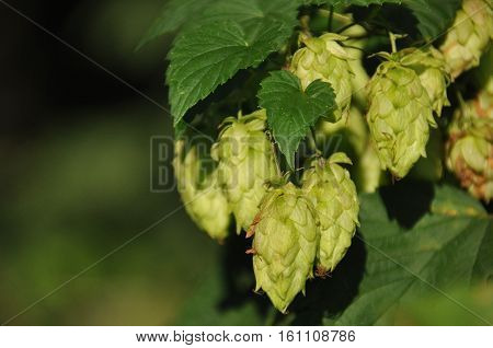 Ripening in the sun hops. Product for beer production