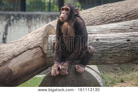 Chimpanzee at a zoo in Kolkata. Among all monkey species chimps are considered closest to humans in behavioral traits.