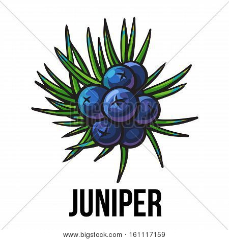 Juniper berries, sketch style vector illustration isolated on white background. Realistic hand drawing of juniper berries, evergreen plant used for making gin, spicing and seasoning