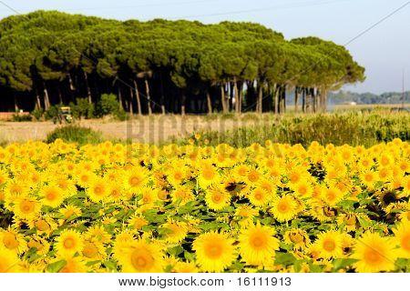 sunflower field, Zamora Province, Castile and Leon, Spain