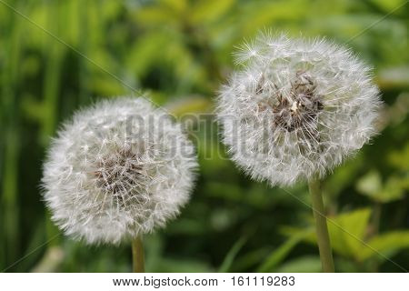hats flying dandelion in the wind. Macro flower