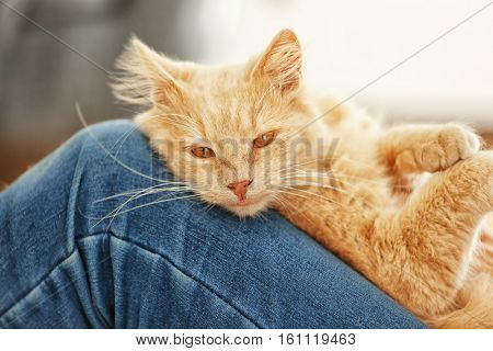Cute cat lying on owner's knees at home, close up view