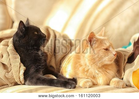 Cute cats lying on beige sofa at home