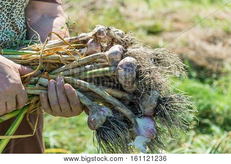 A woman holds a lot of garlic in the garden