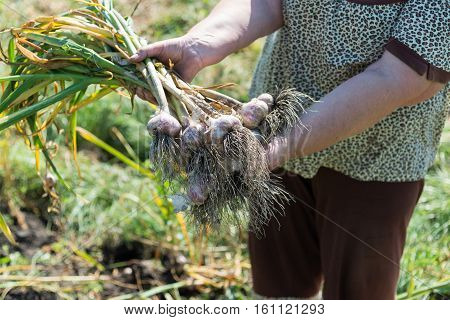 A woman holds a bundle of garlic in the garden