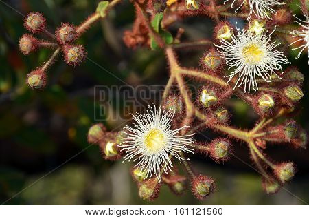 Cluster of white and yellow gumtree, Angophora hispida, flowers and buds in the Royal National Park, Sydney, Australia