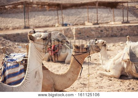 Safari trip in desert with camels in Sharm El Sheikh Egypt