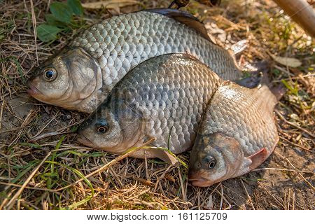 Several Crucian Fish  Or Carassius On Green Grass. Catching Freshwater Fish On Natural Background.
