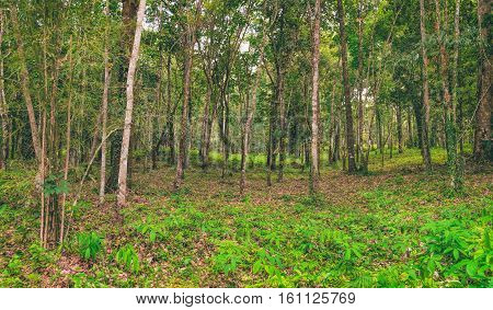 Panoramic view of rubber plantations in Koh Chang, Thailand. Hevea brasiliensis is one of the most economically important rubber tree. Natural background.