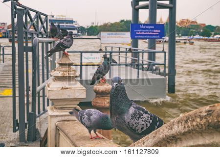 City landscape background with pigeon looking at the camera. Flock of pigeons are sitting on the stone of Wat Rakhang Pier, Bangkok, Thailand.