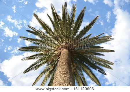 Palm tree from below. Palm tree with vertical direction. Tropical background palm tree under a blue sky and clouds.