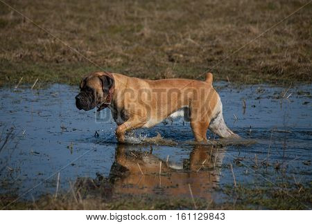 Autumn. The portrait on the background of falling leaves. South African Boerboel. South African Mastiff.