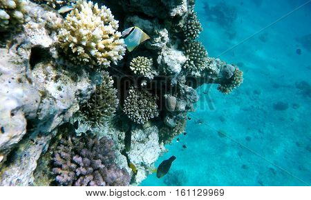 Red sea reef tropical fishes underwater in Safaga, Egypt
