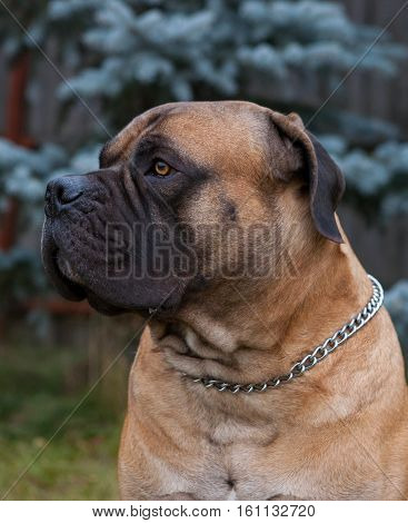 Eyes amber-colored.  Closeup portrait of a beautiful dog breed South African Boerboel. South African Mastiff.