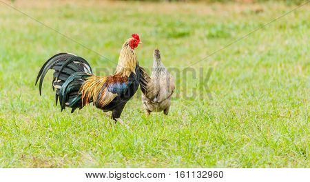 beautiful colorful rooster on green nature background
